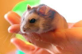 Cara Menghilangkan Kutu Pada Hamster Dengan Cepat